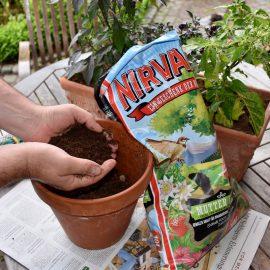 Chili - Umtopfen - Frank kleiner Garten