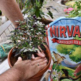 Chili - Nirvana - Franks kleiner Garten