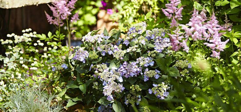 Hortensien - Endless Summer - twister - Franks kleiner Garten