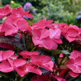 Hortensien - Tellerhortensie - Franks kleiner Garten
