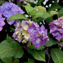Pflanzen aus dem Internetshop – Hortensie – Franks kleiner Garten