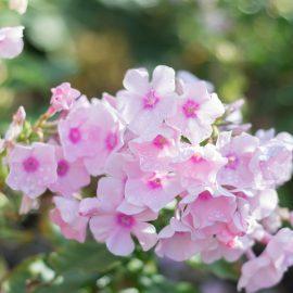 Phlox - Blüten - rose - Franks kleiner Garten