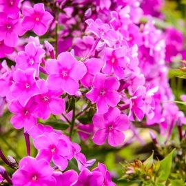 Phlox - Blüten - Franks kleiner Garten