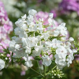 Phlox - Blüten - weiss - Franks kleinr Garten