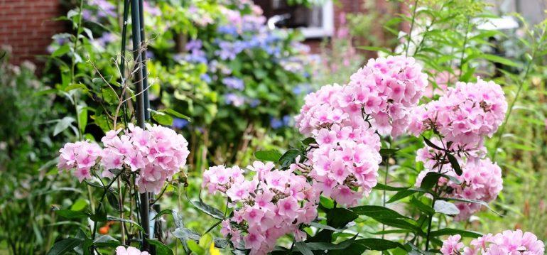 Phlox - Garten - Franks kleiner Garten