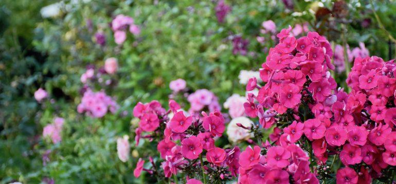 Phlox - Garten - Rot - Franks kleiner Garten
