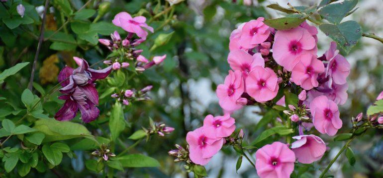 Phlox - Pink - Im Garten - Franks kleiner Garten