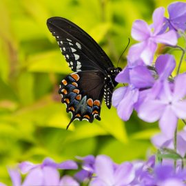 Phlox - Schmetterling - Franks kleiner Garten