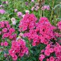 Phlox - im Garten - Rot - Franks kleiner Garten