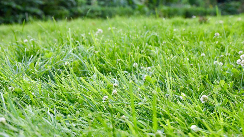 Rasen - Rasen - Franks kleiner Garten