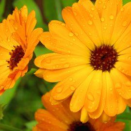 Ringelblume - Wetterstation - Franks kleiner Garten