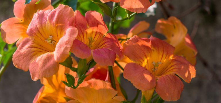 Taglilien - Juli - Franks kleiner Garten
