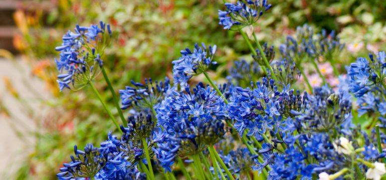Agapanthus - August - Franks kleiner Garten