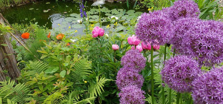 Allium - Allium Giganteum am Teich - Franks kleiner Garten