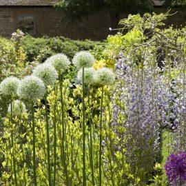 Allium - Cottage Garten - Franks kleiner Garten