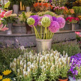 Allium - Im Blumenladen - Franks kleiner Garten