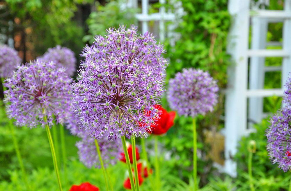 Allium - Titel - Franks kleiner Garten