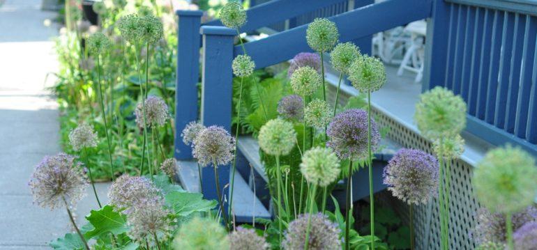 Allium - Veranda - Franks kleiner Garten