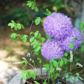 Allium - im Beet - Franks kleiner Garten