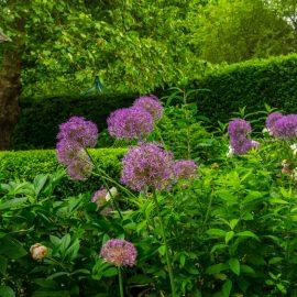 Alllium - Frühling - Franks kleiner Garten
