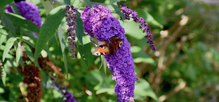 Flieder mit Schmetterling - August - Franks kleiner Garten
