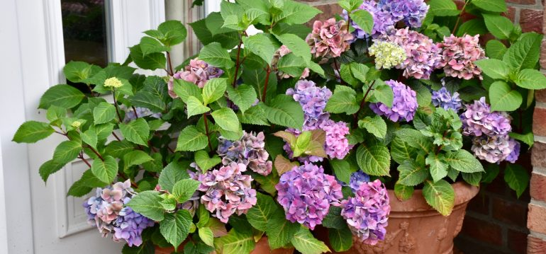 Hortensien - Endless Summer – Eingang - August - Franks kleiner Garten