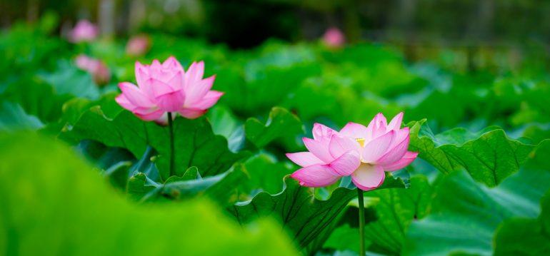 Lotusblüten - August - Franks kleiner Garten