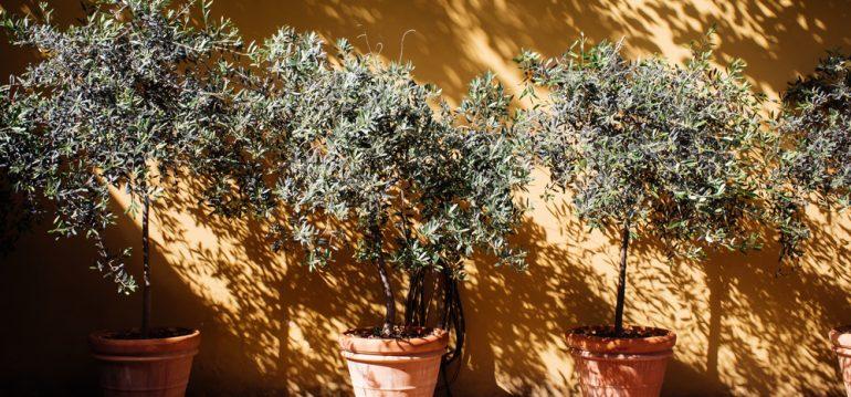 Olivenbaum - Italien - Franks kleiner Garten