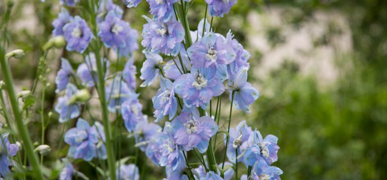Rittersporn - Blüten - Franks kleiner Garten