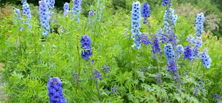 Rittersporn - Wiese - Franks kleiner Garten