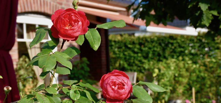 Rosen - An der Terrasse - Franks kleiner Garten