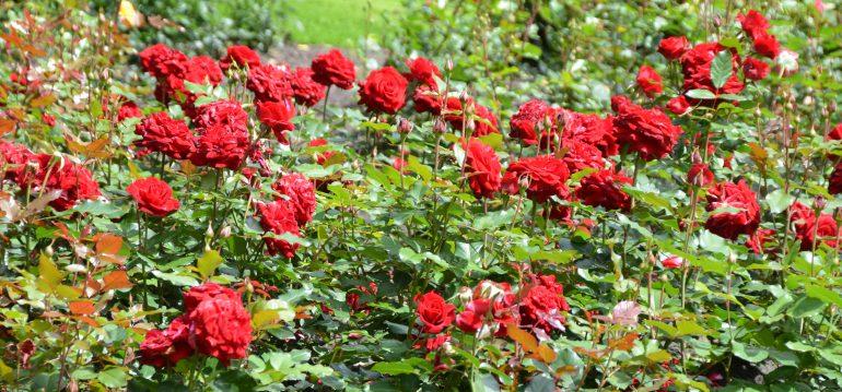 Rosen - Cote d'Azure - Franks kleiner Garten