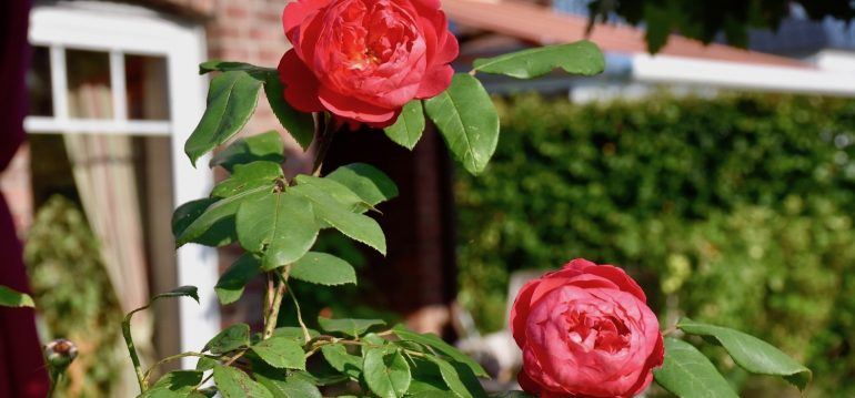 Rosen - Rosenkrankheiten - Sternrußtau - Gartenidylle - rote Rosen - englische Rosen - Im Garten - Franks kleiner Garten