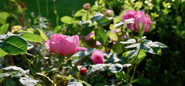 Rosen - Im Garten - Franks kleiner Garten