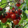 Nachhaltig - Gewächshaus - Hoklartherm - Mai - Tomaten – reif - Franks kleiner Garten