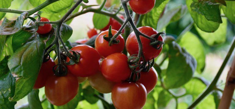 Gewächshaus - Hoklartherm - Mai - Tomaten – reif - Franks kleiner Garten