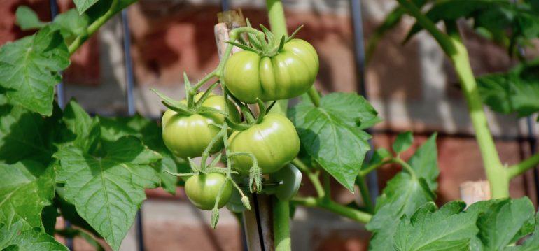 Tomaten – Balkon und Terrasse – Franks kleiner Garten