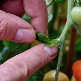Tomaten - Aus geizen - Franks kleiner Garten
