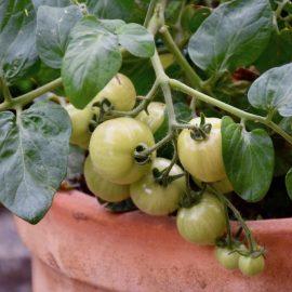 Tomaten - Franks kleiner Garten