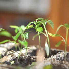 Tomaten - Setzlinge - Franks kleiner Garten