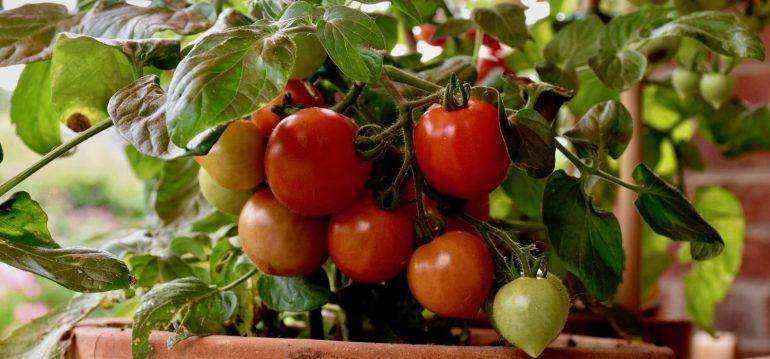 Tomaten - Sie reifen - Franks kleiner Garten