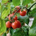 Tomaten - Herztomaten - Franks kleiner Garten