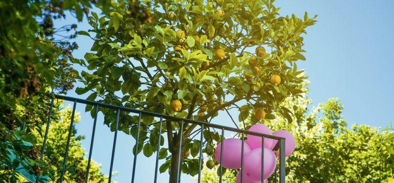 Zitronenbaum - August - Franks kleiner Garten