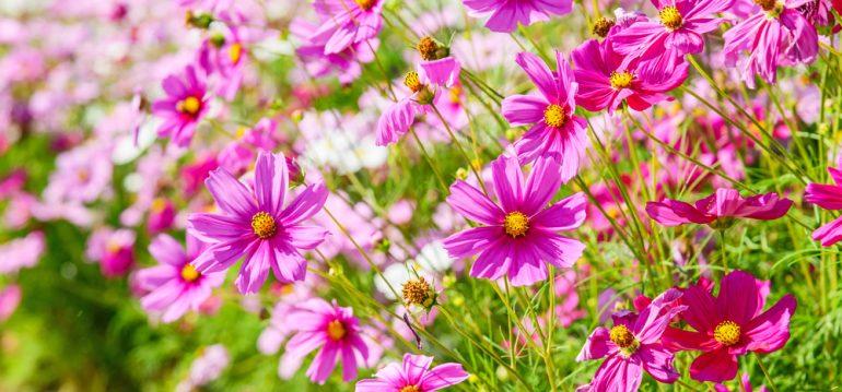 Cosmea - Staudenbeet - Franks kleiner Garten