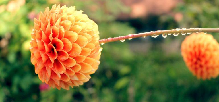 Dahlien - September - Franks kleiner Garten