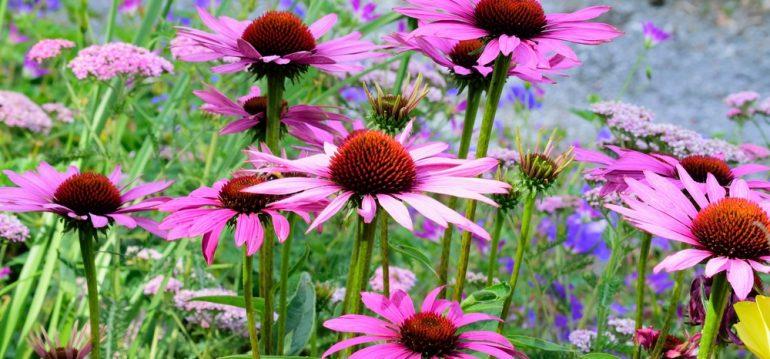 Echinacea - Staudenbeet - Franks kleiner Garten