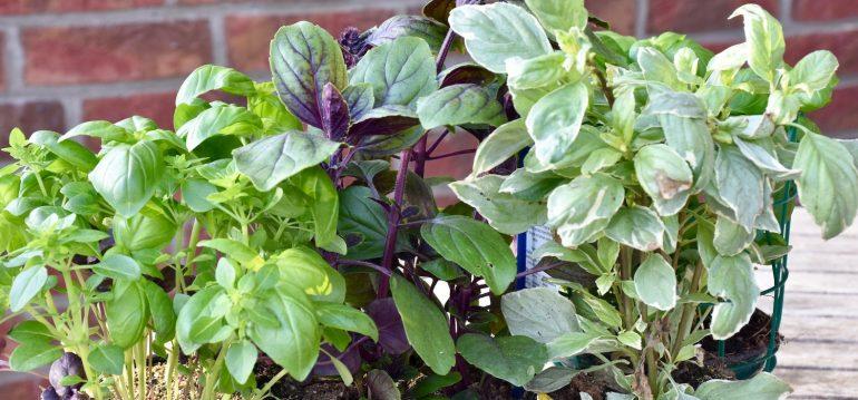 Kraeuter trockenen - Basilikum - Franks kleiner Garten