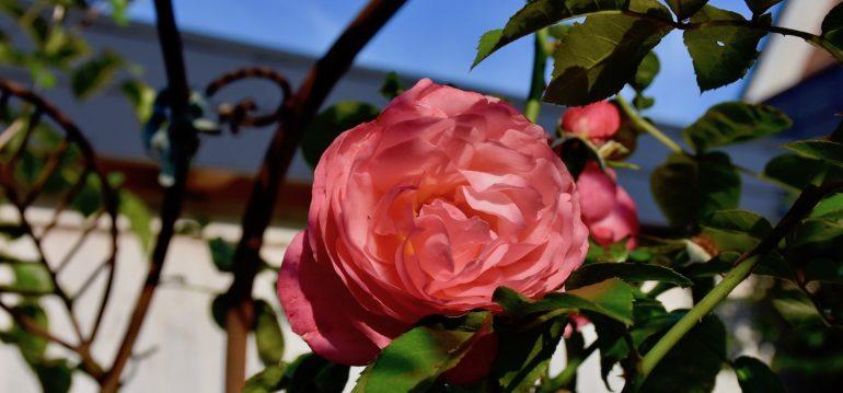 Rosen - Kletterrose - September - Franks kleiner Garten
