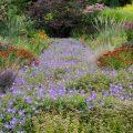 Sommerbeet - Storchenschnabel - Cottage Garden - Franks kleiner Garten