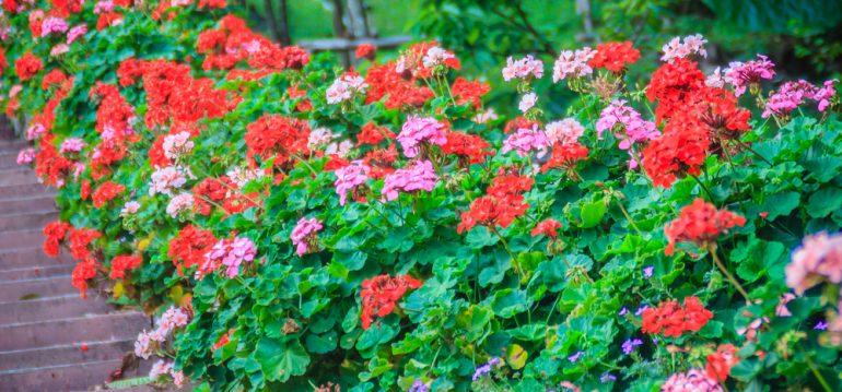 Bodendecker - Storchenschnabel - Franks kleiner Garten